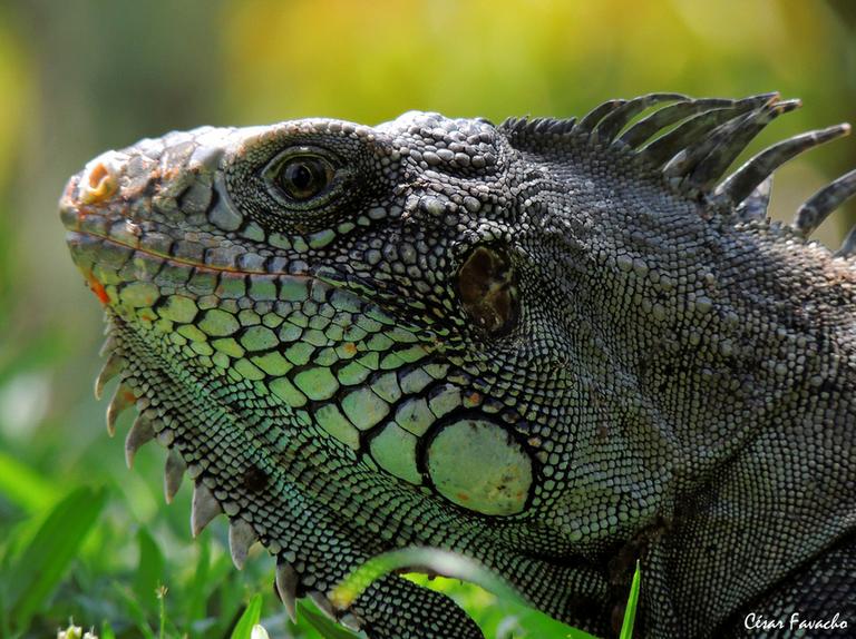Iguana - Vertebrados