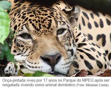 Na imagem, a onça-pintada macho, Guma. Foto de Messias Costa.