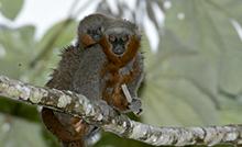Pesquisadores dedicados ao estudo dos mamíferos nas Américas podem submeter seus manuscritos até o fim de novembro de 2019. O Boletim publica trabalhos originais nas áreas de biologia e geologia, e a edição mais recente abordou pesquisas sobre a preservação da biodiversidade e a conservação dos ambientes.