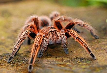 Araneae.jpg