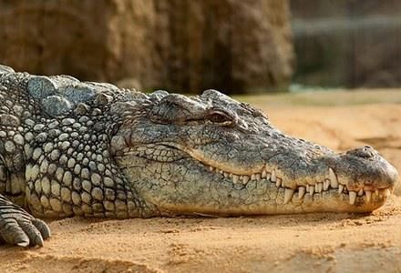 Crocodylia.jpg