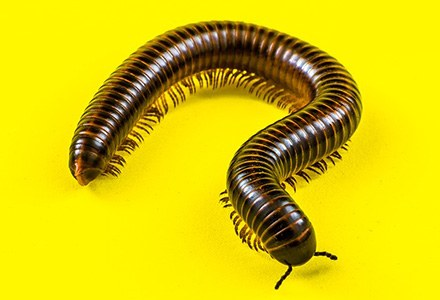 Diplopoda.jpg