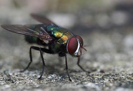 Diptera.jpg