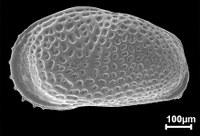 Micropaleontologia Ostracoda Cyprideis graciosa - MPEG-17-M NOVO.jpg