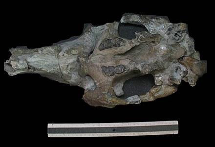 PaleovertebradosMandíbula de DioplotheriumNOVO.jpg