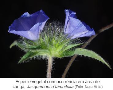 Espécie vegetal com ocorrência em área de canga, Jacquemontia tamnifolia - Foto_Nara Mota