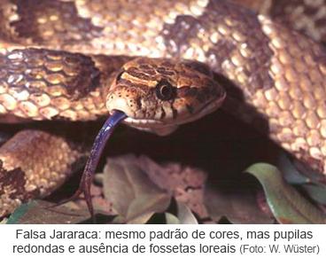 Falsa Jararaca, mesmo padrão de cores, mas pupilas redondas e ausência de fossetas loreais (Foto W. Wüster)