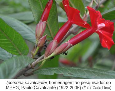 Ipomoea cavalcantei, homenagem ao pesquisador do MPEG, Paulo Cavalcante (1922-2006) - Foto_Carla Lima