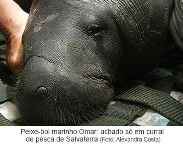 Peixe-Boi marinho Omar: achado só em um curral de pesca de Salvaterra
