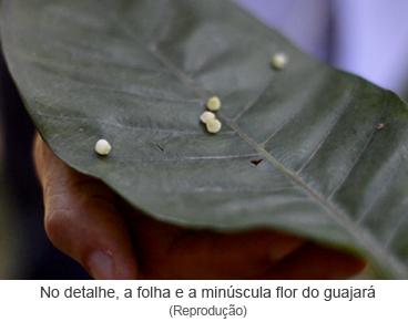 No detalhe, a folha e a minúscula flor do guajará