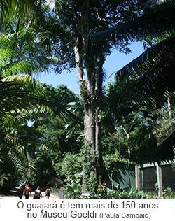 O Guajará tem mais de 150 anos no Museu Goeldi