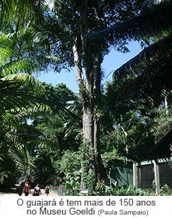 O Guajará tem mais de 150 anos no Museu Goeldi.jpg