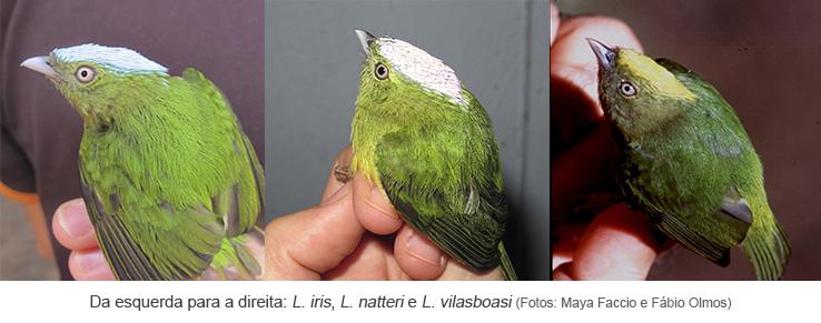 Da esquerda para a direita L. iris, L. natteri e L. vilasboasi