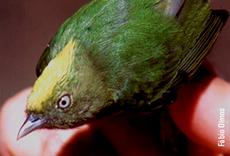 Imagem da espécie Lepidothrix vilasboasi
