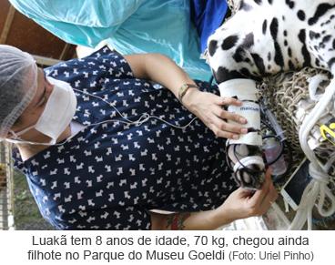 Luakã tem 8 anos de idade, 70 kg, chegou ainda filhote no Parque do Museu Goeldi