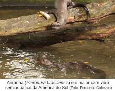 Ariranha (Pteronura brasiliensis) é o maior carnívoro semiaquático da América do Sul