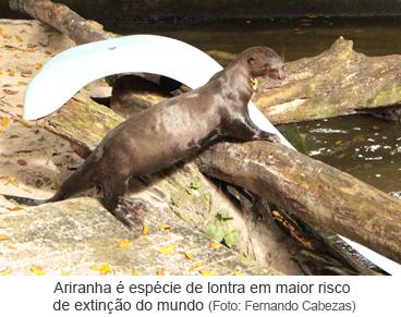 Ariranha é espécie de lontra em maior risco de extinção do mundo