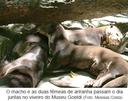 O macho e as duas fêmeas de ariranha passam o dia juntas no viveiro do Museu Goeldi