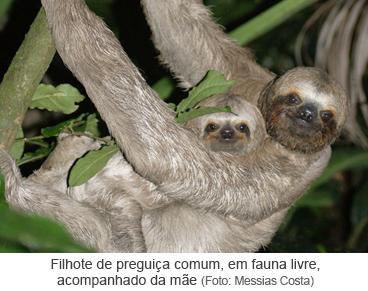 Filhote de preguiça comum, em fauna livre, acompanhado da mãe.png