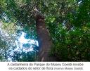 A castanheira do Parque do Museu Goeldi recebe os cuidados do setor de flora