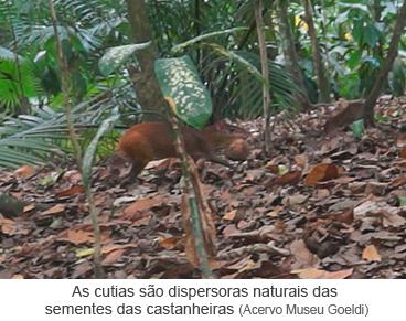 As cutias são dispersoras naturais das sementes das castanheiras