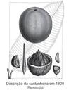 Descrição da castanheira em 1808