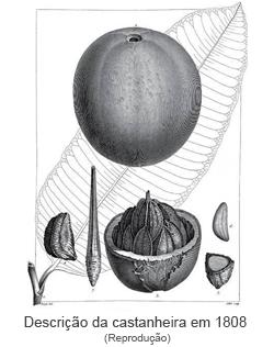 Descrição da castanheira em 1808.png