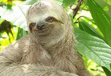 Cerca de 100 exemplares de preguiça-comum estão soltos no PZB