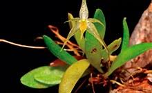 Orquídeas do Pará.jpg