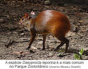 A espécie Dasyprocta Ieporina é a mais comum no Parque Zoobotânico