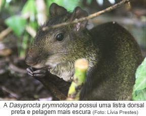 A Dasyprocta prymnolopha possui uma listra dorsal preta e pelagem mais escura