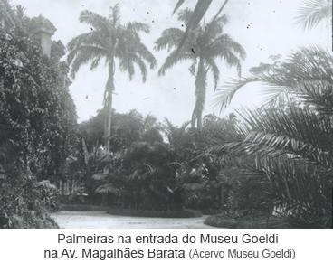 Palmeiras na entrada do Museu Goeldi na Av. Magalhães Barata