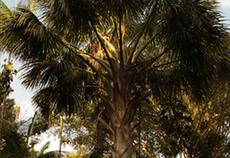 Miriti ou Buriti (Mauritia flexuosa L.f.)