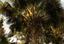 Miriti ou Buriti (Mauritia flexuosa L.f.).png