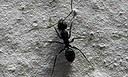 Formigas - miniatura - Sumy Menezes