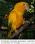 Ararajuba (Guaruba garouba): Espécies ameaçadas de extinção.png