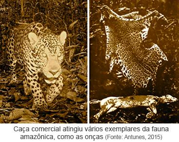 Caça comercial atingiu vários exemplares da fauna amazônica, como as onças.png