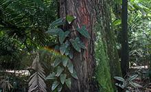 Com diversas atividades como trilhas, manuseio de mudas, contação de histórias e sorteio de brindes, a Festa Anual da Árvore homenageia a espécie ameaçada de extinção conhecida como pau-rosa (Aniba rosaeodora). A programação vai até domingo (31) no Parque Zoobotânico.