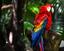 Arara vermelha (Ara choloptera).png
