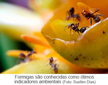 Formigas são conhecidas como ótimos indicadores ambientais