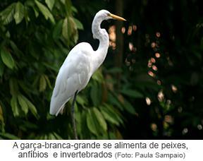A Garça-Branca-Grande se alimenta de peixes, anfíbios e invertebrados