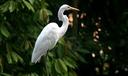 A Garça-Branca-Grande se alimenta de peixes, anfíbios e invertebrados.png