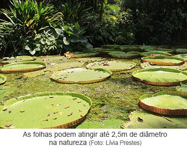 As folhas podem atingir até 2,5m de diâmetro na natureza