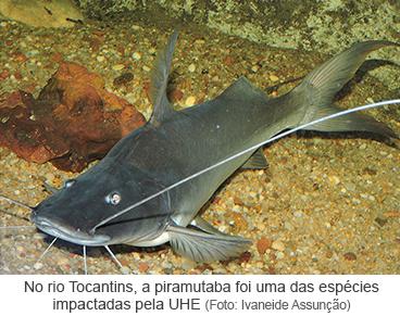 No rio Tocantins, a piramutaba foi uma das espécies impactadas pela UHE
