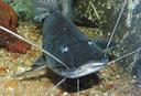 Imagem do peixe piramutaba