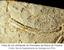 Pista de um artrópode do Permiano da Bacia do Paraná.png