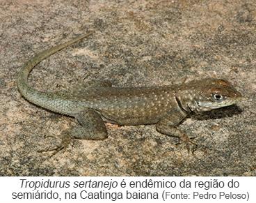 Tropidurus sertanejo é endêmico, na caatinga baiana