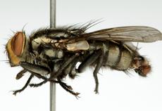 Imagem da nova espécie de mosca: Peckia Veropeso