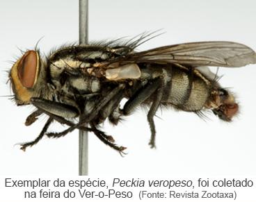 Exemplar da espécie, Peckia veropeso, foi coletado na feira do ver-o-peso