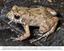 """Nova espécie de rã da Amazônia tem """"voz"""" de passarinho - Fotolegenda.png"""